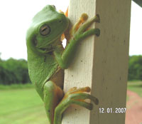 Green Tree Frogs are also a common site in the evenings at Daly River Barra Resort